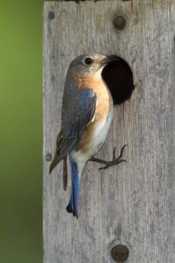 Bluebird del este femenino en el nidal fotos de archivo