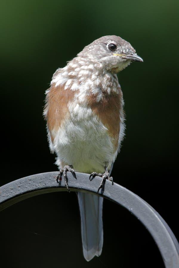 Bluebird del este juvenil fotografía de archivo libre de regalías