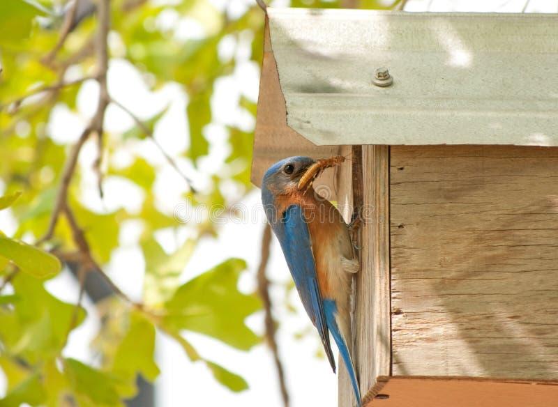 Bluebird del este masculino en el nidal foto de archivo libre de regalías