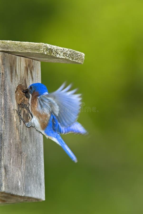 Bluebird del este (sialis del Sialia) imágenes de archivo libres de regalías