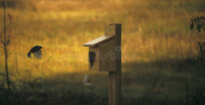 Bluebird durante il volo fotografia stock libera da diritti