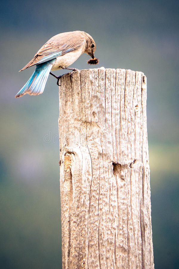 Bluebird eating a caterpillar. On fence post royalty free stock photo