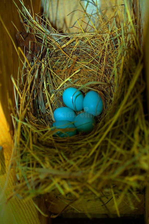 Bluebird eggs stock photography
