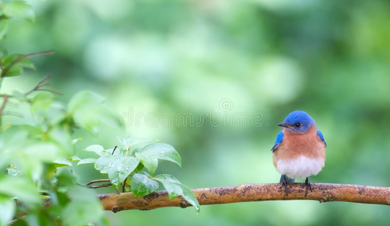 Bluebird en resorte foto de archivo