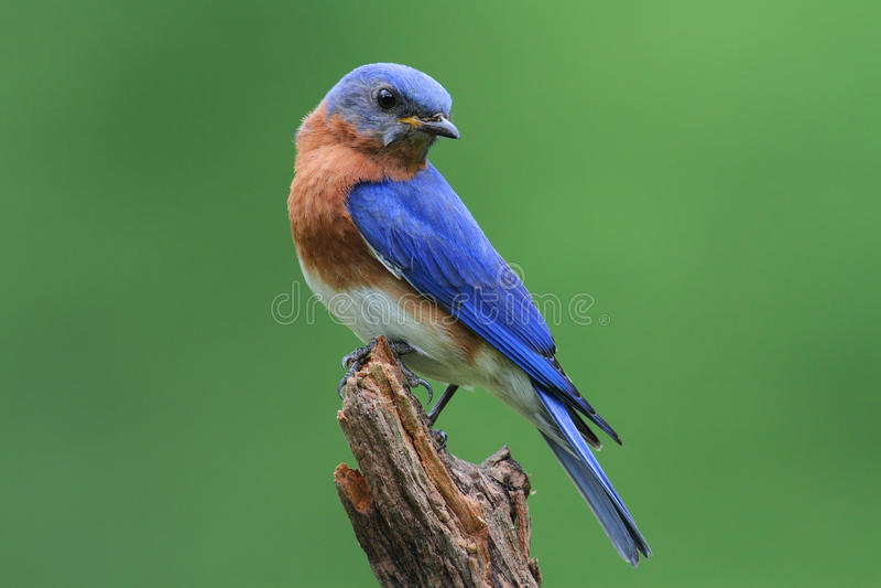Bluebird en un tocón fotos de archivo