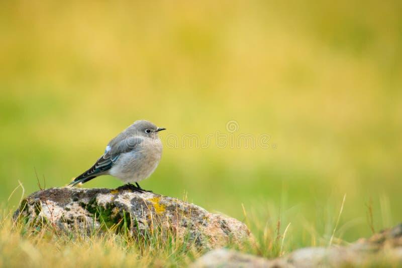 Bluebird fêmea da montanha, Yellowstone fotos de stock royalty free