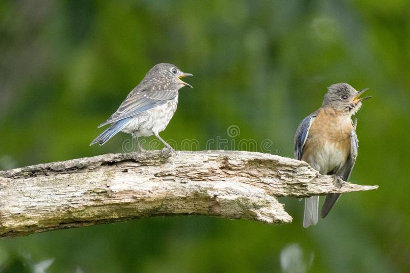 Bluebird family feud. stock photography