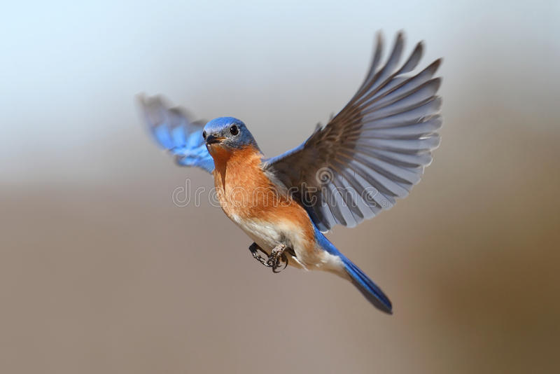 Bluebird In Flight. Male Eastern Bluebird (Sialia sialis) in flight