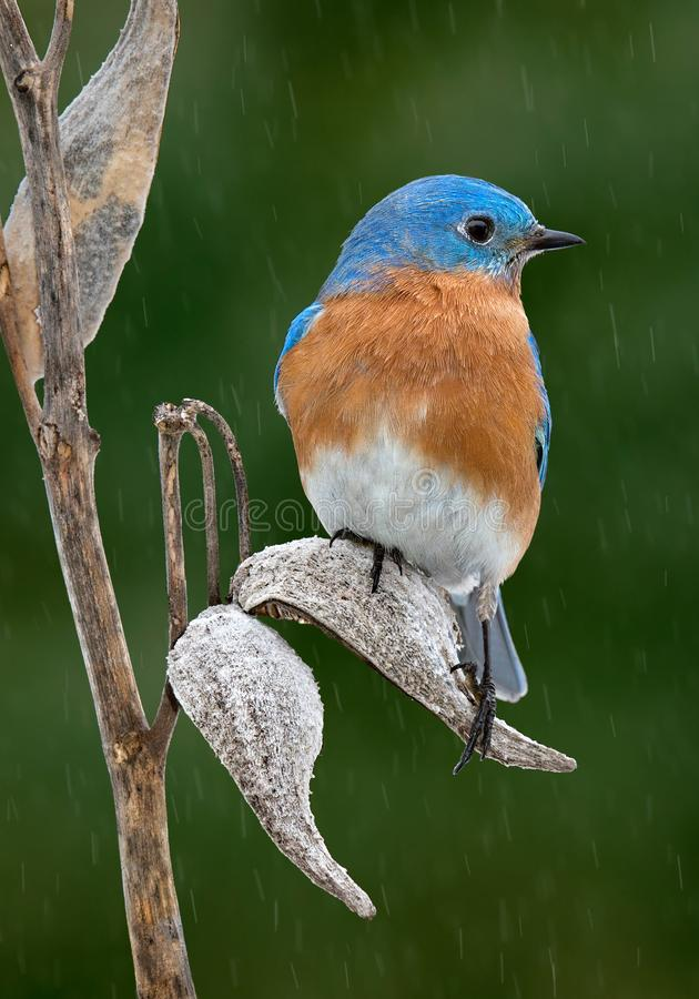 Bluebird male on milkweed. A male bluebird is perched on a milkweed pod while it`s raining royalty free stock photography