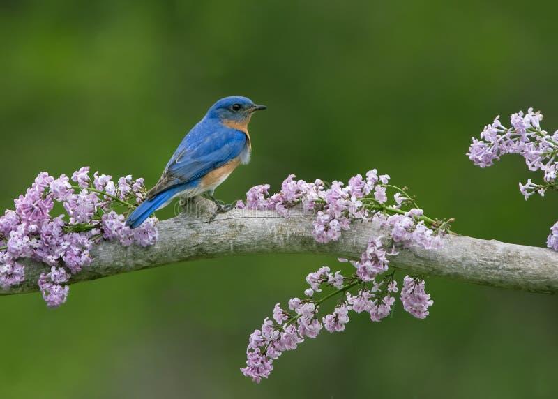Bluebird na bzach fotografia royalty free