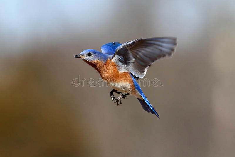 Bluebird no vôo foto de stock royalty free
