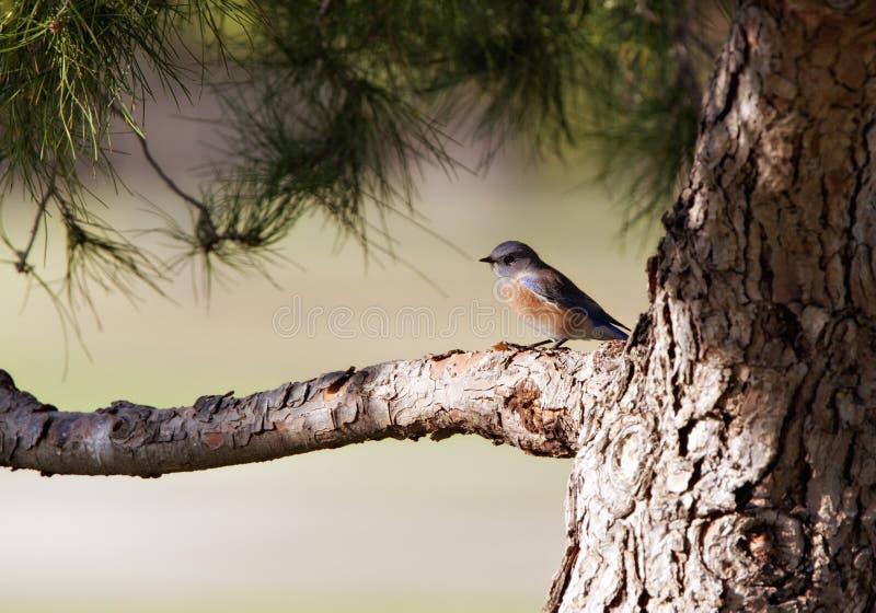 Bluebird occidental encaramado en un árbol de pino de Jeffrey imagen de archivo libre de regalías