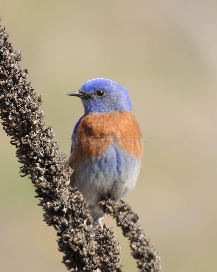 Bluebird ocidental foto de stock royalty free