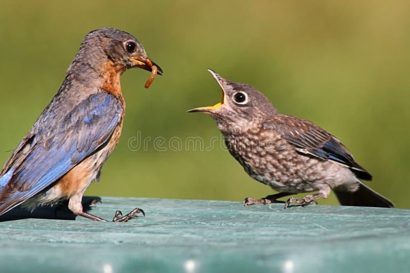 Bluebird oriental fêmea que alimenta um bebê fotos de stock