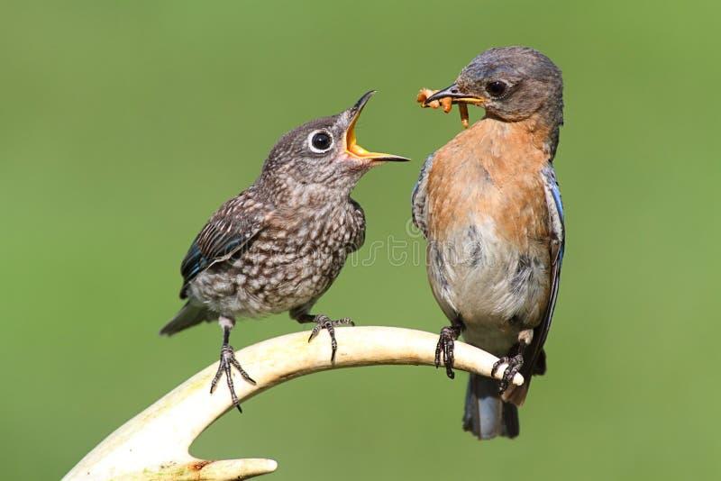 Bluebird oriental fêmea que alimenta um bebê imagens de stock royalty free