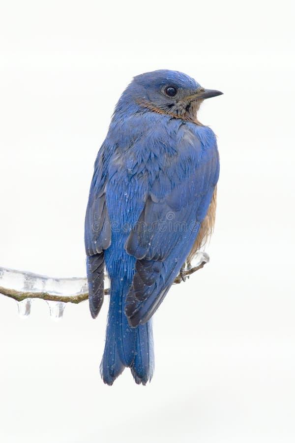 Bluebird oriental (sialis do sialia) foto de stock royalty free