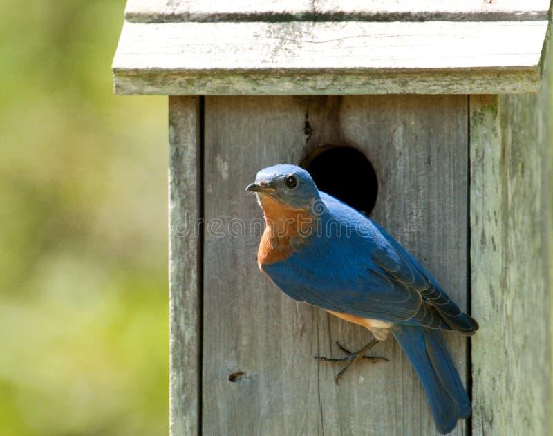 Bluebird oriental (sialis do sialia) foto de stock