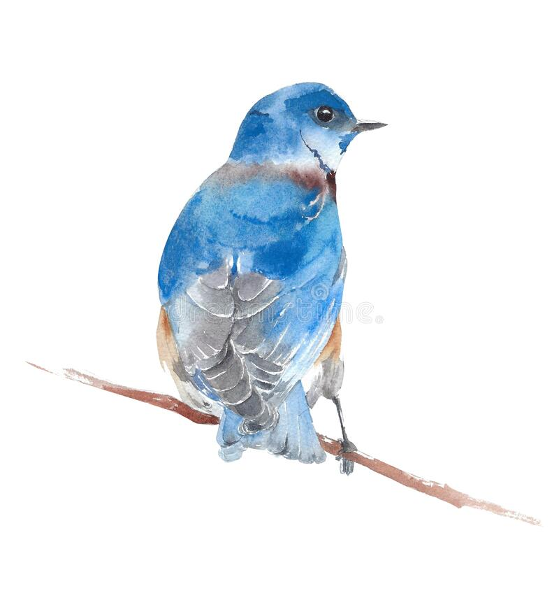 Free Bluebird Sitting On The Branch American Wildlife Backyard Bird Watercolor Painting Illustration Isolated On White Background Royalty Free Stock Image - 189919886