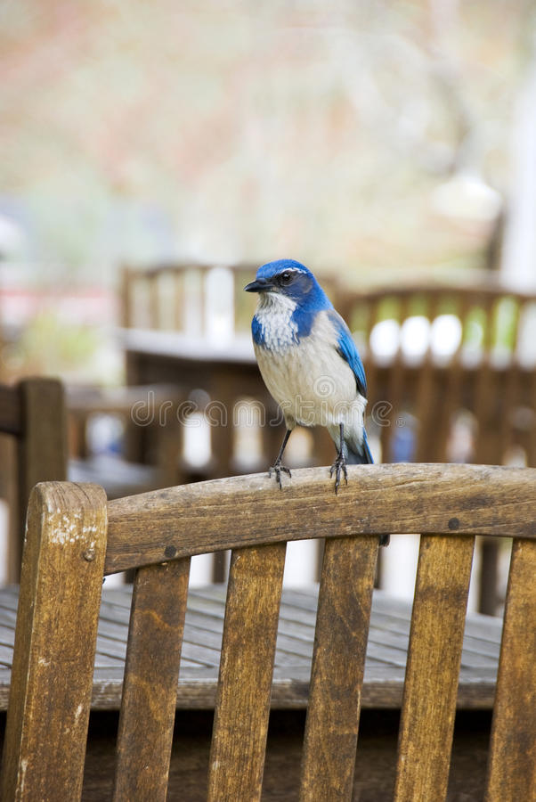 Bluebird on wooden chair. A blue and white bird rests on the back of a brown wooden chair stock image