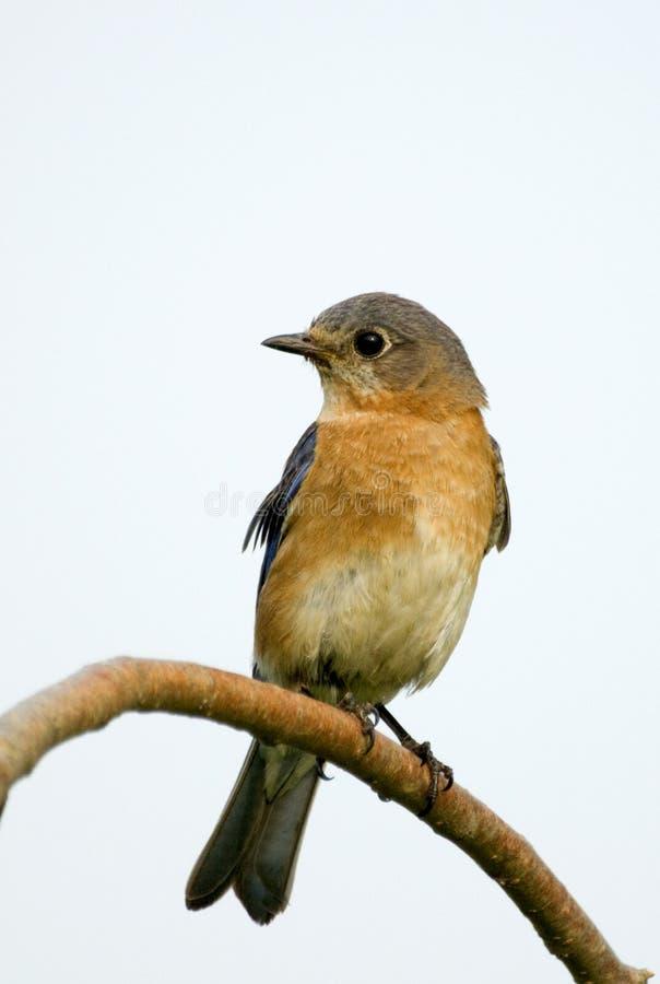 bluebird wschodni żeński sialia sialis zdjęcia stock