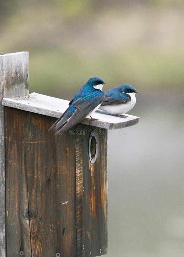 Bluebirds stock photo