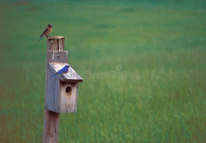 Bluebirds on house stock photography