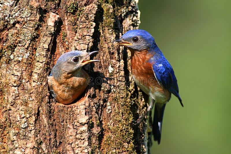 Bluebirds orientais foto de stock
