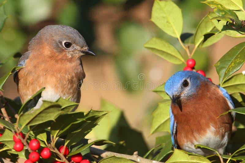 Bluebirds orientais imagem de stock