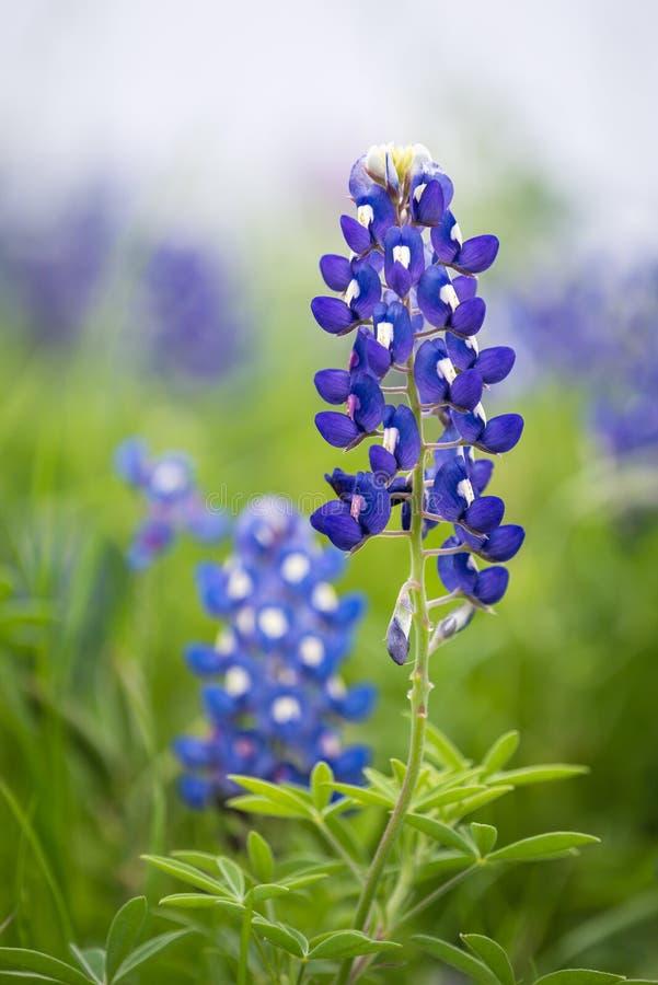 Bluebonnet Техаса (texensis Lupinus) стоковое фото rf