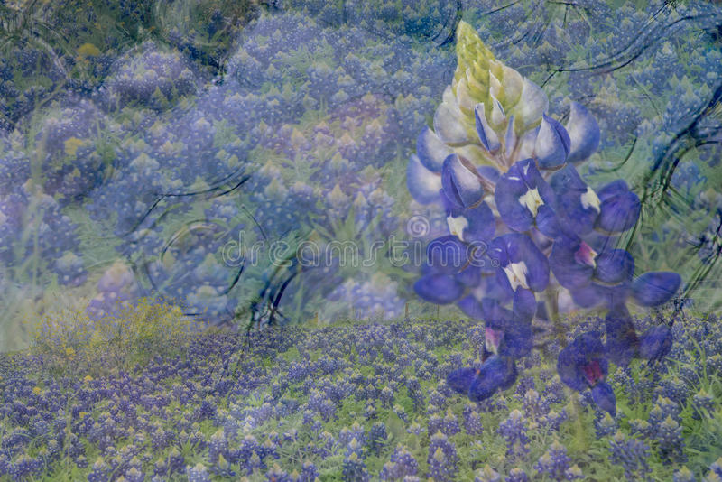 Bluebonnet Abstract. Bluebonnet field layered over water with macro bluebonnet on side, soft purple and yellow pastels stock image