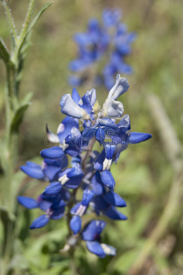 Bluebonnet Close Up royalty free stock image