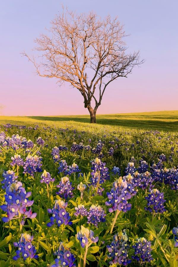 Bluebonnet de fleur sauvage dans le Texas photos libres de droits
