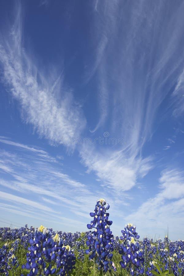 Bluebonnet e cielo immagini stock
