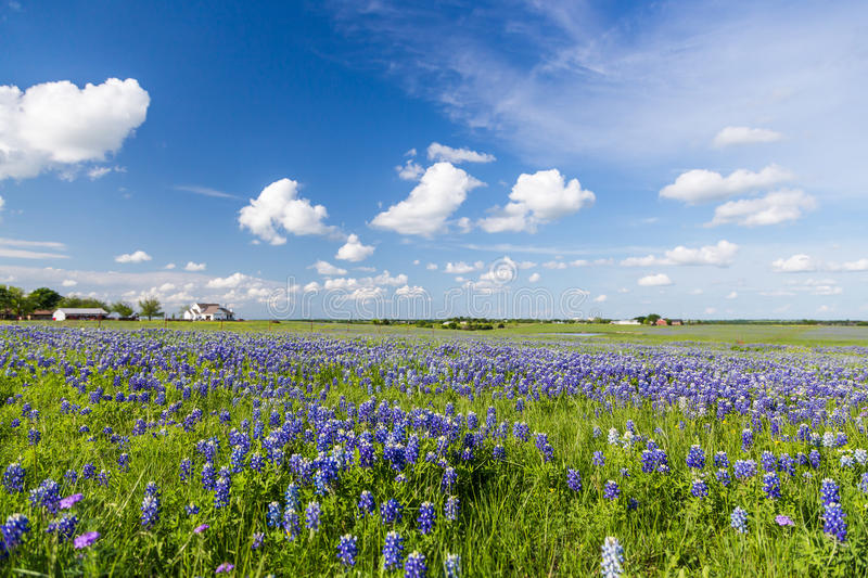 Bluebonnet field and blue sky in Ennis, Texas stock photography