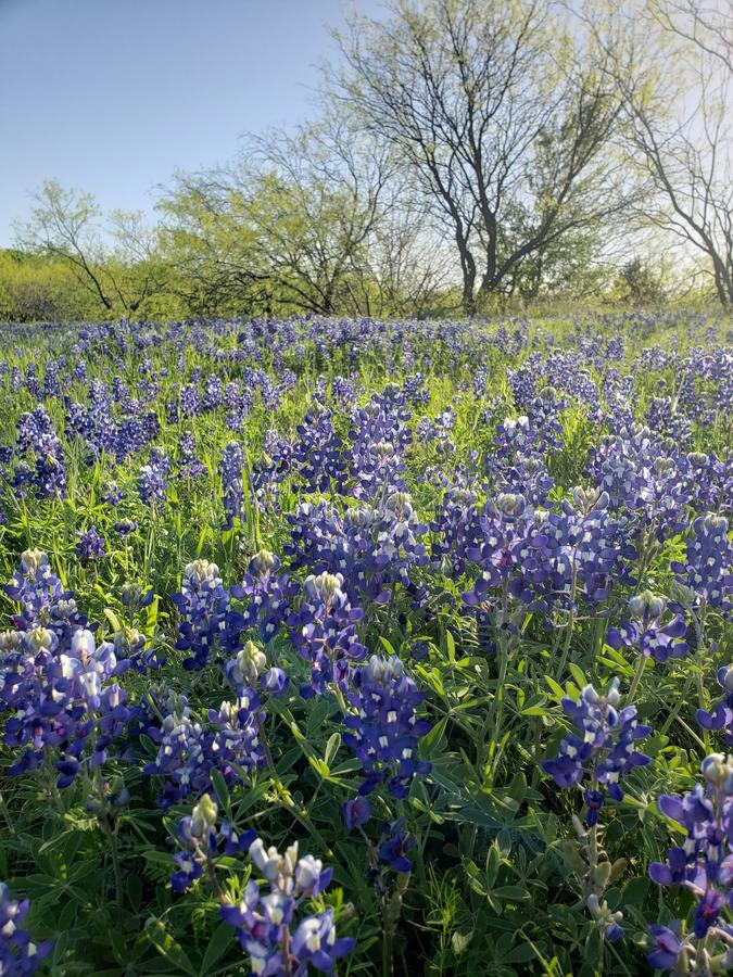 Bluebonnet field in the morning royalty free stock images