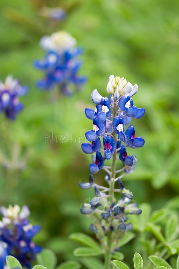 Bluebonnet flower over blurred green background with uneven flowers stock photography