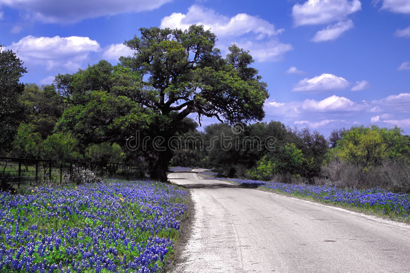 Bluebonnet Road. Rural road lined with wild bluebonnets