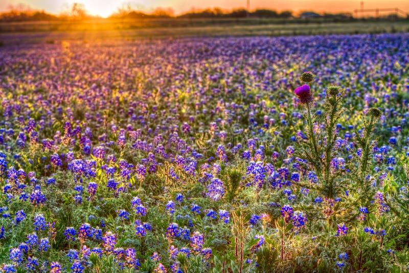 Bluebonnet-Sonnenaufgang in Texas Hill Country stockbilder