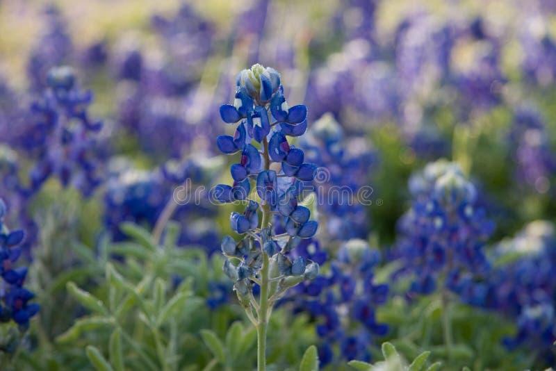 bluebonnet texas royaltyfria bilder
