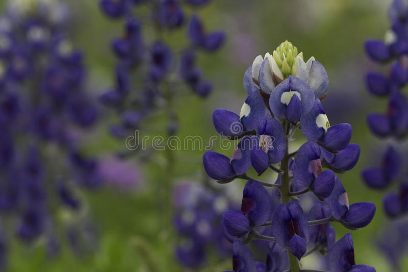 Bluebonnet Texas royaltyfri foto