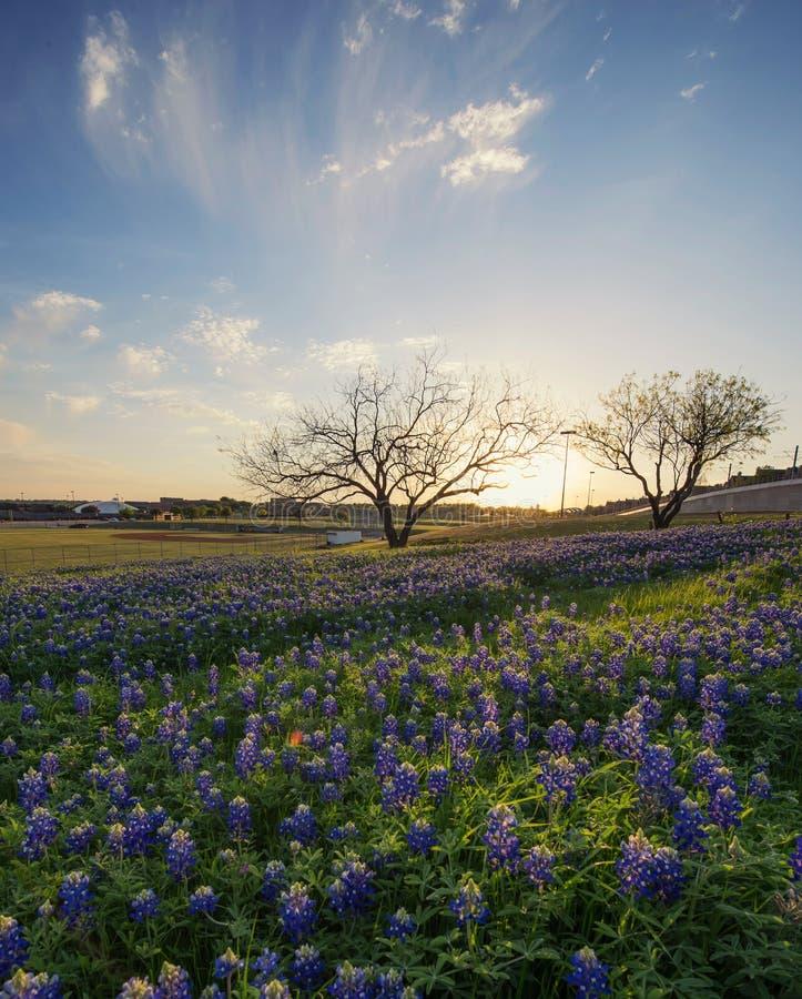 Bluebonnetblommafält i Irving, Texas royaltyfri foto