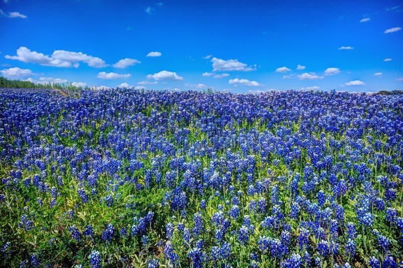 Bluebonnets à Muleshoe Bend photographie stock libre de droits
