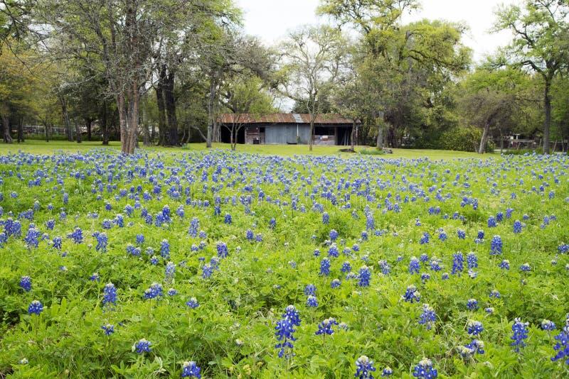 Bluebonnets в стране холма Техаса стоковые фотографии rf