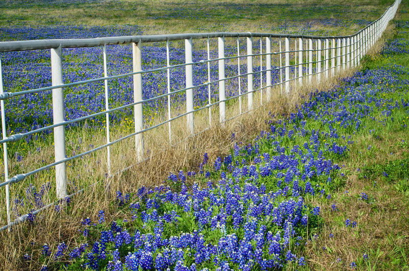 Bluebonnets и белая загородка стоковая фотография