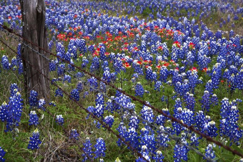Bluebonnets и индеец Paintbush в стране холма Техаса, Техас стоковое фото