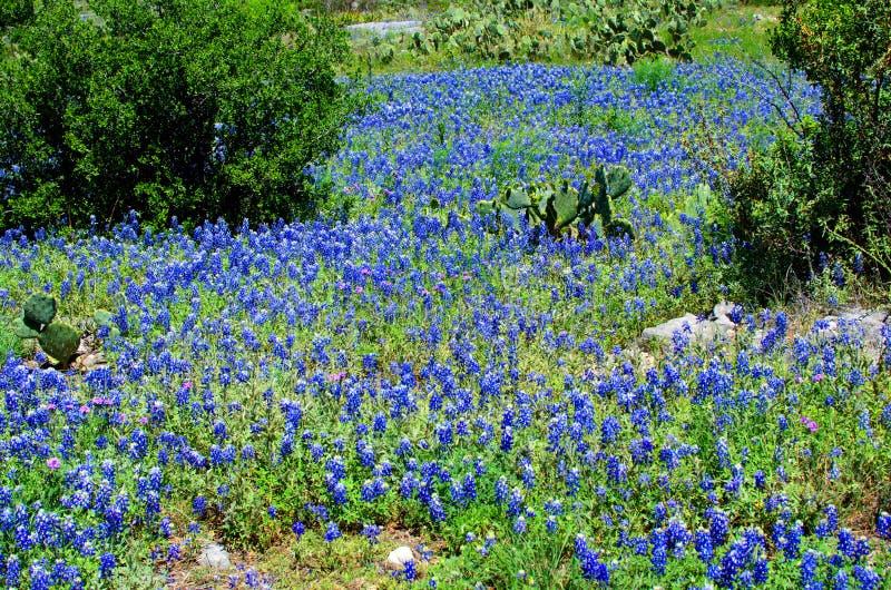 Bluebonnets и кактус стоковая фотография rf