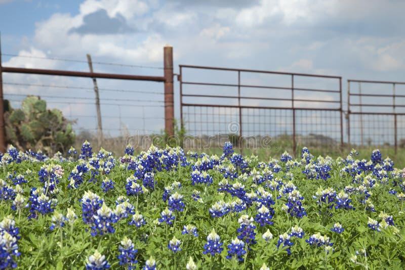 Bluebonnets и ранчо Техаса обнести страна холма Техаса стоковое изображение