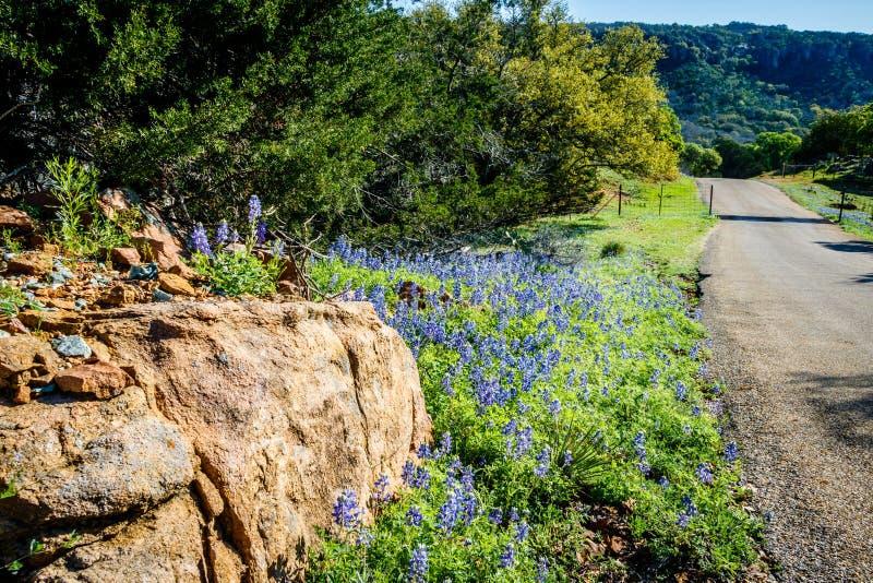 Bluebonnets на петле города вербы стоковая фотография rf