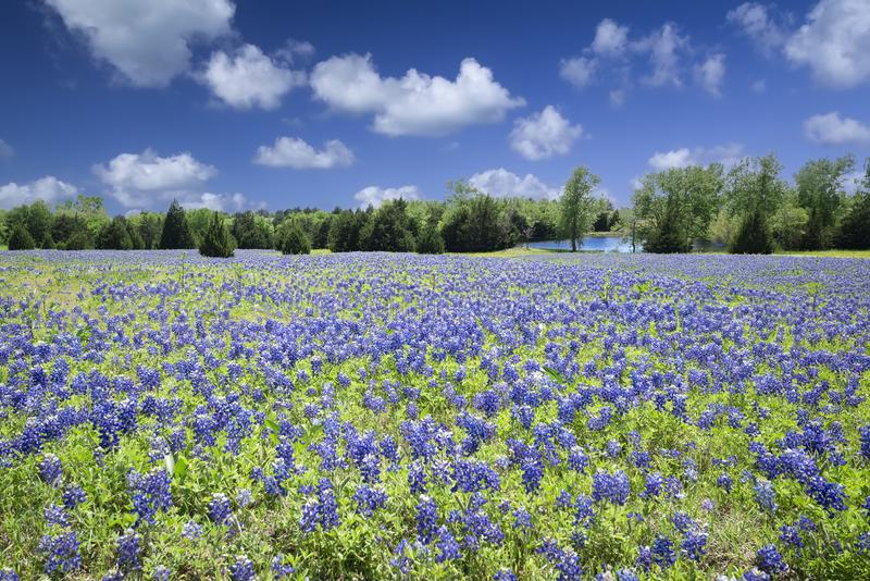 Bluebonnets Техаса искупанные в солнечности позднего вечера стоковая фотография rf