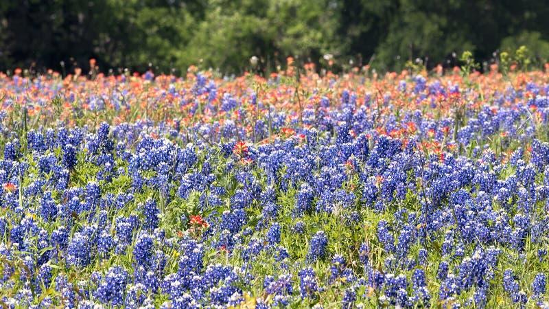 Bluebonnets Техаса искупанные в солнечности позднего вечера стоковое изображение rf